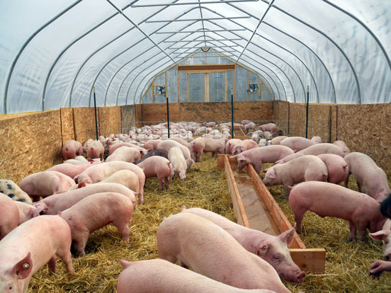 Is British Sugar's 18 Hectare Grow-Op for $GWPH, just 20th Century Pig Farming?