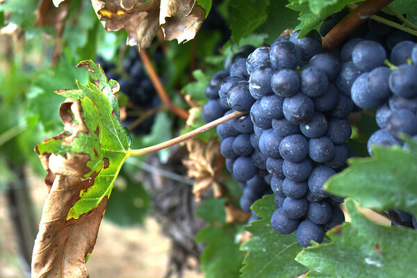 Can Marijuana Odor Taint Wine Grapes?
